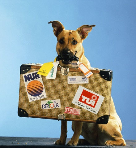 Dog with suitcase in his mouth