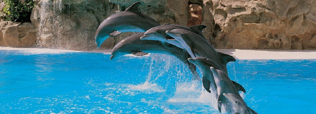 800px-Dolphins_jumping_qtl1